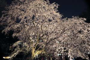 六義園のしだれ桜 ライトアップ