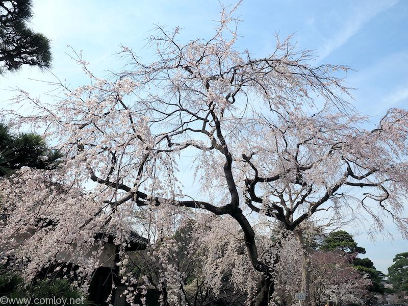 皇居 乾通りの桜 2018/3/26撮影