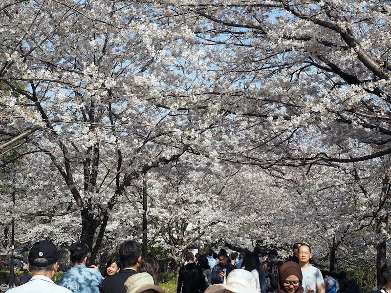 千鳥ヶ淵緑道の桜並木 2018/3/26撮影